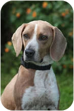 Beagle Mix Dog for adoption in Avon, New York - Judd
