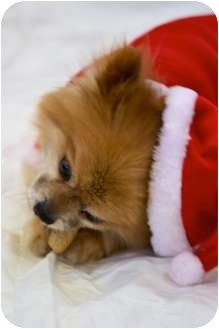 "Pomeranian Dog for adoption in Edmond, Oklahoma - Dasher""Little Button"""