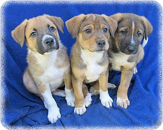 Shepherd (Unknown Type) Mix Puppy for adoption in Howell, Michigan - Shepherd Mix Female