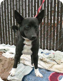 Corgi/Border Collie Mix Dog for adoption in Gustine, California - SPIKE