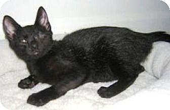Domestic Shorthair Cat for adoption in Miami, Florida - Kiren