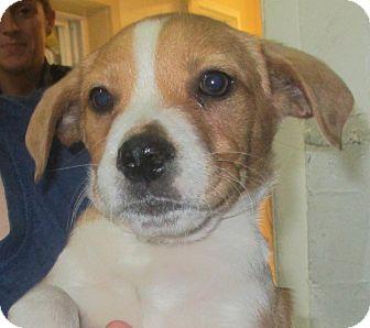 Labrador Retriever Mix Puppy for adoption in Hammonton, New Jersey - finn