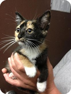 Domestic Shorthair Kitten for adoption in MARION, Virginia - Snickers