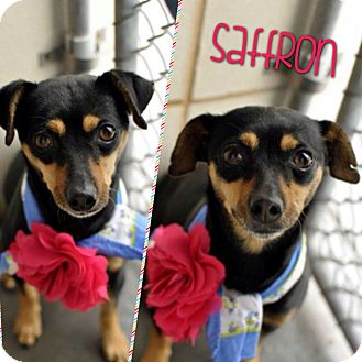 Miniature Pinscher/Dachshund Mix Dog for adoption in Corpus Christi, Texas - Saffron