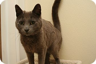 Domestic Shorthair Cat for adoption in Cashiers, North Carolina - Cyrus