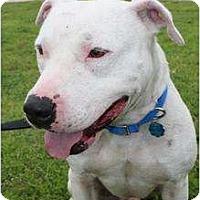 Adopt A Pet :: Vince - justin, TX