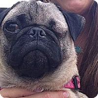 Adopt A Pet :: Desiree - Huntingdon Valley, PA