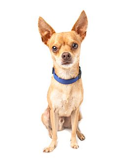 Chihuahua Mix Dog for adoption in Wilmington, Delaware - Arther