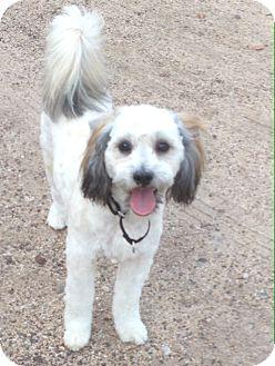 Lhasa Apso/Poodle (Miniature) Mix Dog for adoption in Cave Creek, Arizona - Smudge
