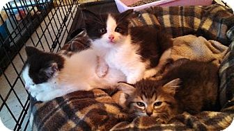 American Shorthair Kitten for adoption in San Marcos, Texas - Second Spring litter