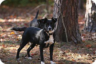 Labrador Retriever/Border Collie Mix Dog for adoption in Brattleboro, Vermont - Maggie