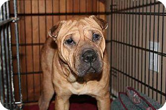 Shar Pei/American Bulldog Mix Dog for adoption in London, Ontario - Piper
