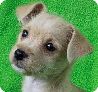 Terrier (Unknown Type, Small) Mix Puppy for adoption in Minneapolis, Minnesota - Abby