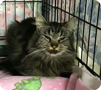 Domestic Longhair Cat for adoption in Byron Center, Michigan - Yasmina