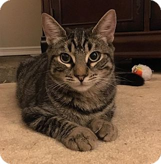 Domestic Shorthair Cat for adoption in Yorba Linda, California - Marcus (aka Imperius)