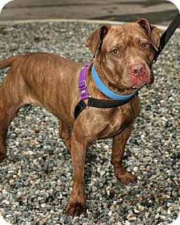 Pit Bull Terrier Mix Dog for adoption in Bellingham, Washington - Uma