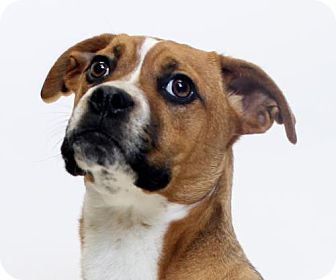 Boxer/Retriever (Unknown Type) Mix Dog for adoption in Truckee, California - Red