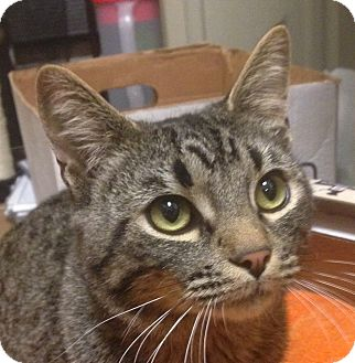 Domestic Shorthair Cat for adoption in Winchester, California - Jonah