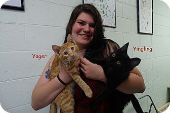 Domestic Shorthair Kitten for adoption in Elyria, Ohio - Yager
