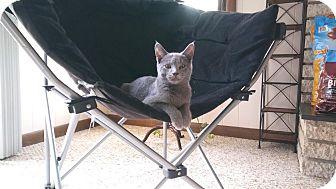 Russian Blue Kitten for adoption in Hazel Park, Michigan - Snuggle Bunny