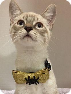 Siamese Kitten for adoption in Houston, Texas - Max
