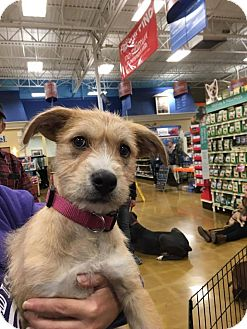 Carolina Dog/Airedale Terrier Mix Puppy for adoption in Sugar Grove, Illinois - Athena