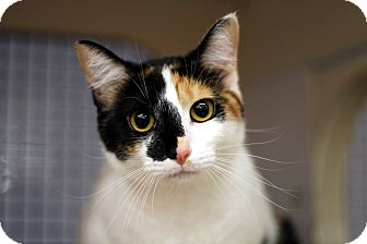 Domestic Shorthair Cat for adoption in Richmond, Virginia - Ginger