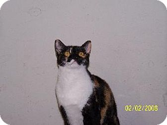 Calico Cat for adoption in Cushing, Oklahoma - CALI -ADOPTED