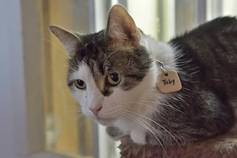 Domestic Shorthair Cat for adoption in Montreal, Quebec - Toby