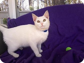 Domestic Shorthair Kitten for adoption in Arlington, Virginia - Pip-Cuddly-Adoption Pending