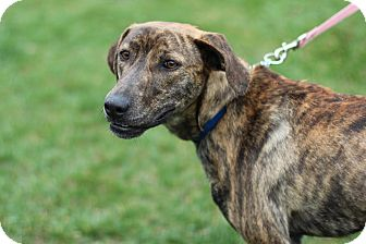 Mountain Cur Mix Dog for adoption in Midland, Michigan - Paddy