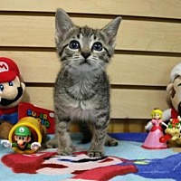 Domestic Shorthair Cat for adoption in Mocksville, North Carolina - Princess Peach
