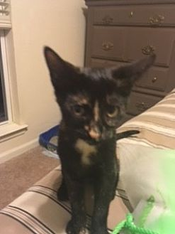 Domestic Shorthair Kitten for adoption in Columbia, South Carolina - Penny