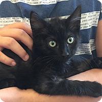 Domestic Mediumhair Kitten for adoption in Meridian, Idaho - Miss Penelope