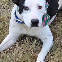 Adopt A Pet :: Peter - Lacey, WA