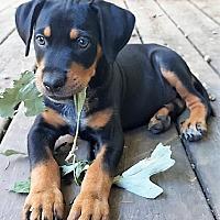 Australian Cattle Dog Mix Puppy for adoption in Mukwonago, Wisconsin - **LORENZO**