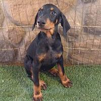Adopt A Pet :: Athena - Temecula, CA