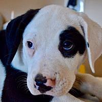 Adopt A Pet :: Lexus - Springfield, MA