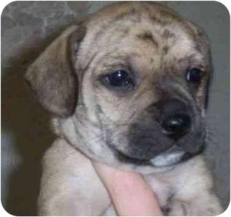Dachshund/Boston Terrier Mix Puppy for adoption in Princeton, Indiana - Dusty Rose