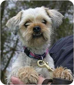 Shih Tzu Mix Dog for adoption in Ladysmith, Wisconsin - D0307