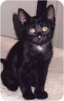 Domestic Shorthair Kitten for adoption in Owatonna, Minnesota - Smudge
