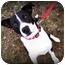 Photo 1 - Labrador Retriever/Boxer Mix Dog for adoption in Covington, Kentucky - Romper