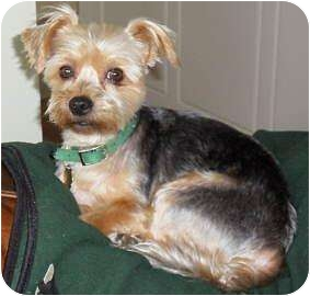 Yorkie, Yorkshire Terrier Mix Dog for adoption in Florence, Oregon - Skooter