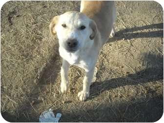 Labrador Retriever Mix Dog for adoption in berwick, Maine - Julie