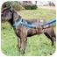 Photo 3 - Cane Corso Dog for adoption in Virginia Beach, Virginia - Elijah