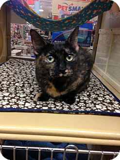 Domestic Shorthair Cat for adoption in Monroe, Georgia - Spot