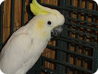 "Cockatoo for adoption in Vancouver, Washington - ""K"" A 17 Year Old Skittish Fem"