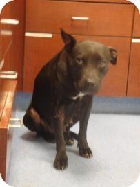 American Staffordshire Terrier Mix Dog for adoption in Gainesville, Florida - Kara