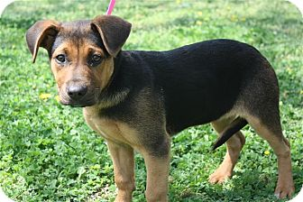 Shepherd (Unknown Type)/Hound (Unknown Type) Mix Puppy for adoption in Cranford, New Jersey - Carly