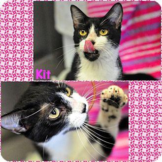 Domestic Mediumhair Cat for adoption in Corpus Christi, Texas - Kit
